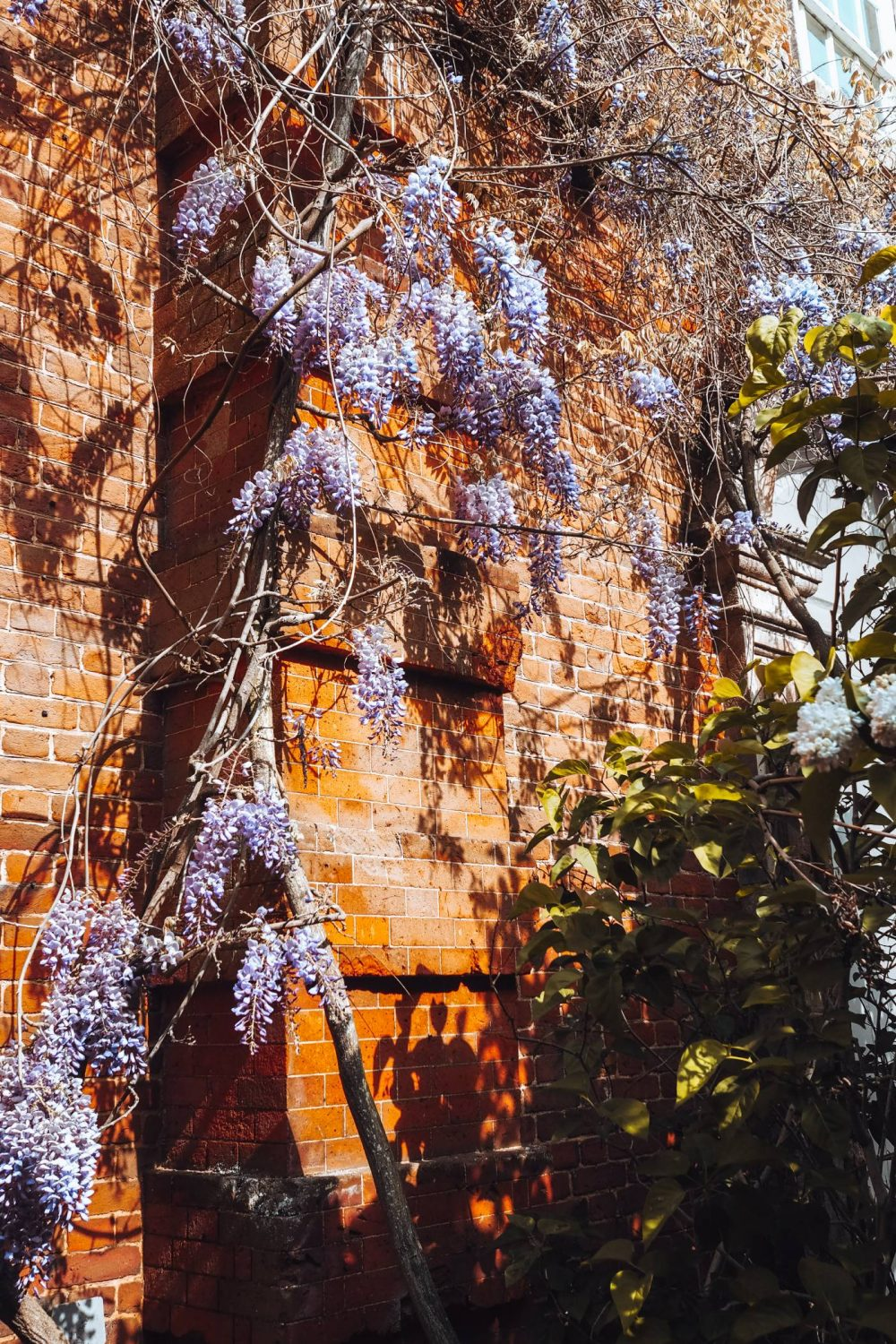 Purple wisteria in front of a redbrick wall